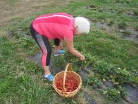 Bellingham Country Gardens - picking strawberries