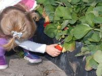 Wish Farms - child picking strawberry