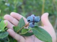 Wish Farms - fresh blueberries