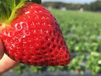 Wish Farms - large strawberry