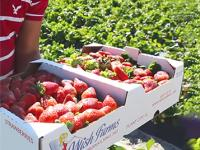 Wish Farms - fresh strawberries
