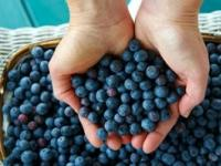 Wish Farms - pick blueberries