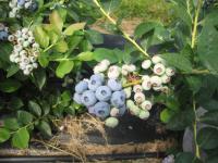 Blue Dot Farm - blueberry cluster