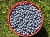 Blue Dot Farm - barrel of blueberries