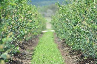 Wish Farms - blueberry fields
